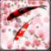 和风锦鲤动态壁纸app下载_和风锦鲤动态壁纸app最新版免费下载